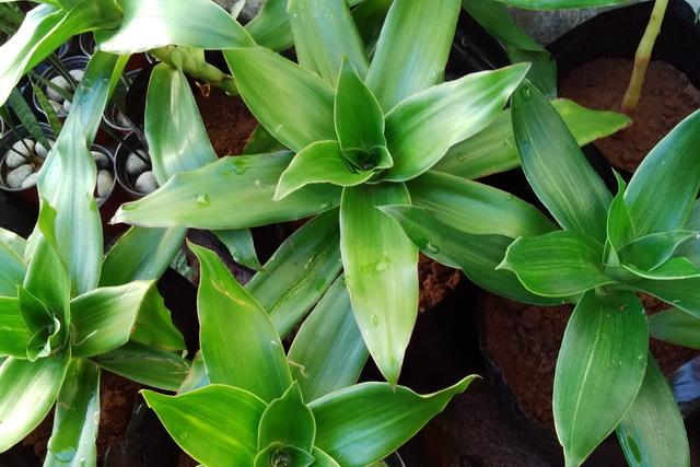 Каллизия душистая, или тайская (Callisia fragrans)