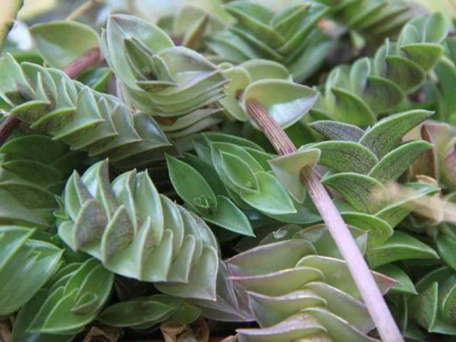 Каллизия ладьевидная (Callisia navicularis)