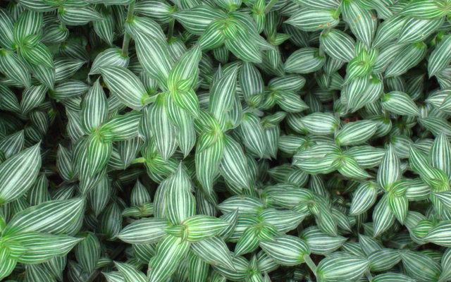 Каллизия элегантная, или изящная (Callisia elegans)